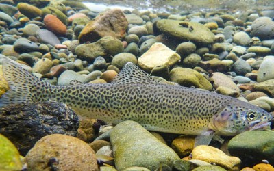 McKenzie River Cutthroat Trout